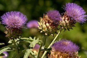 Beneficios terapéuticos de la hoja de alcachofa